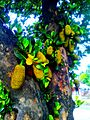 Jackfruit in Nepal.jpg