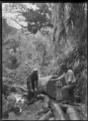Jacking a kauri log, near Piha. ATLIB 287396.png