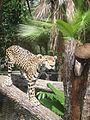 JaguarBuddyBelize.JPG