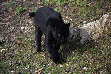 Jaguar (Panthera onca) Zoo Salzburg 2014 i.jpg