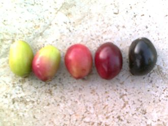 Syzygium cumini - Syzygium cumini fruit color changing from green to pink to blood red to black as it matures