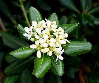 Pittosporum tobira - Japanese Cheesewood -- Pittosporum tobira