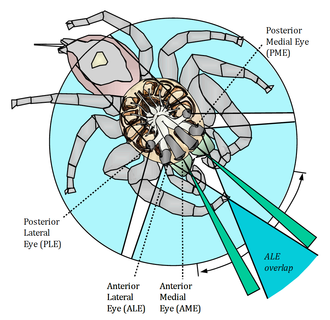 The visual fields of a jumping spider Jumping spider vision David Hill.png