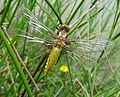 Just hatched. Broad-bodied Chaser female Libellula depressa - Flickr - gailhampshire.jpg