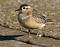 Juvenile Dotterel at Leasowe.jpg