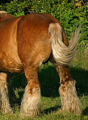 Rump (animal) - The rump is anterior to the animal's tail (here on a draft horse)