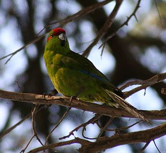 Kākāriki - Red-crowned parakeet (Cyanoramphus novaezelandiae)