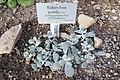 Kalanchoe pumila-Jardin botanique de Berlin.jpg