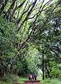 Karura Forest Nairobi 07.JPG