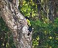 Keel-billed Toucans. Ramphastos sulphuratus - Flickr - gailhampshire.jpg