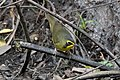 Kentucky Warbler (male) Sabine Woods TX 2018-04-21 12-29-31 (41971781711).jpg