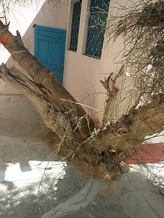 Suswani Mataji - Image: Kera Tree in Suswani Mata Temple Morkhana 1