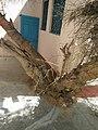 Kera Tree in Suswani Mata Temple Morkhana 1.jpg