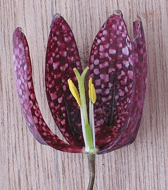 Liliaceae - Section through flower of Fritillaria meleagris