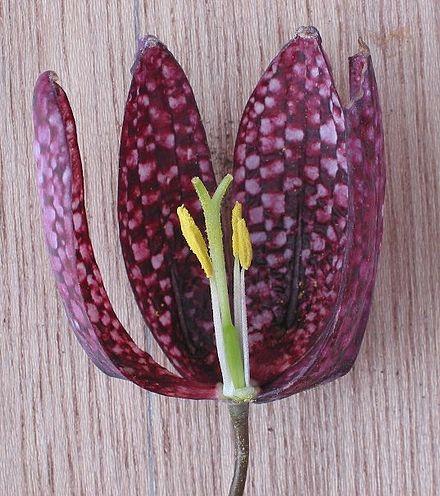 Blüte im Längsschnitt: zu erkennen sind weiße Staubfäden und gelbe Staubbeutel, grüner Fruchtknoten und dreispaltiger Griffel