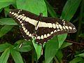 King Swallowtail (Papilio thoas nealces) (9564832228).jpg