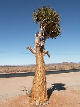Kokerboom-Quivertree.JPG