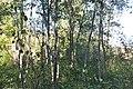 Koki pie Kastrānes ūdensdzirnavu drupām - panoramio.jpg