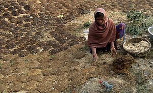 A rural worker drying cow dung in Bihar, the p...