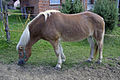 Konj Prosečka vasx.jpg