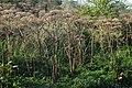 Korina 2011-09-22 Heracleum mantegazzianum.jpg