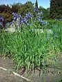 Kosaciec syberyjski Iris sibirica.jpg