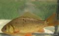 Kroeskarper (Carrasius carrasius).png