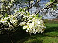 KwiatyCzereśni-Wiosna-POL, Lednica Górna.jpg