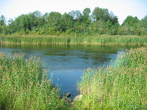Ladoga Canal - New Ladoga Canal overgrown with Phragmites australis