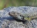 Lagarto tizón (Gallotia galloti), Icod de los Vinos, Tenerife, España, 2012-12-13, DD 03.jpg