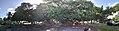 Lahaina Banyan Tree (37738304022).jpg