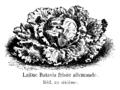 Laitue batavia frisée allemande Vilmorin-Andrieux 1904.png