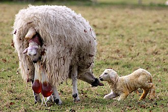 Birth - Lambing: the mother licks the first lamb while giving birth to the second