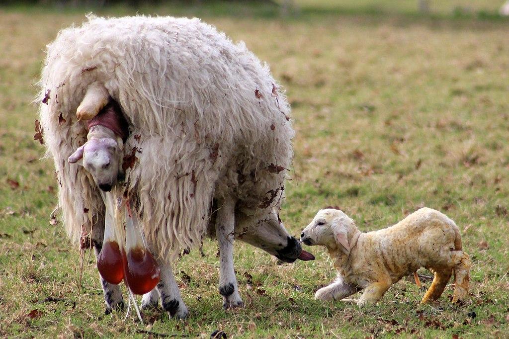 File Lambing In England 10march2012 2 Jpg Wikimedia