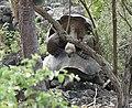 Land Tortoises (33936525698).jpg
