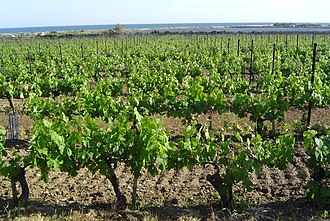 Languedoc-Roussillon wine - A vineyard in Villeneuve-lès-Maguelone bordering the Gulf of Lion.