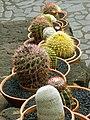 Lanzarote May 2010 - cacti at Jardin de cactus - panoramio (1).jpg