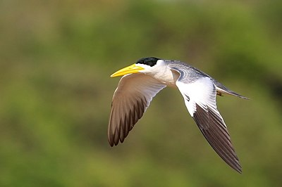 Large-billed tern (Phaetusa simplex) in flight 2.JPG