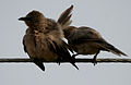 Large Grey Babbler (Turdoides malcolmi)- allopreening in AP W IMG 8055.jpg