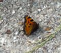 Large tortoishell - Flickr - gailhampshire.jpg