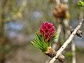 Larix decidua, young seed cone.jpg