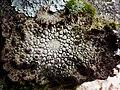 Lasallia pustulata (L.) Mérat 408769.jpg