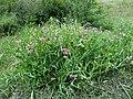 Lathyrus latifolius L. (7705631372).jpg