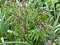 Lathyrus vernus - Flickr - peganum (1).jpg