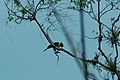 Laughing Falcon 2015-06-09 (1) (38517759140).jpg