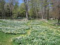 Laurel Ridge Foundation Narcissus Plantings - IMG 6443.JPG