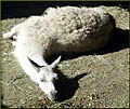 Lazy Llama 10-26-13 (10561368574).jpg