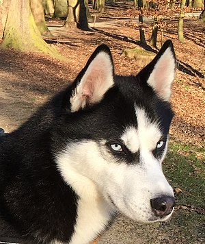 Siberian Husky - Siberian Husky with blue eyes