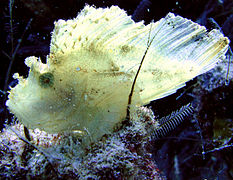 Leaf fish on Pom Pom Island, Celebes resort.jpg