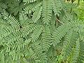 Leaves of Tamarind.jpg